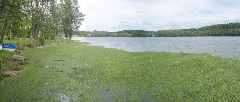 Algae on Simon Lake