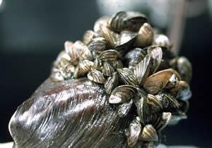 Zebra Mussels 1