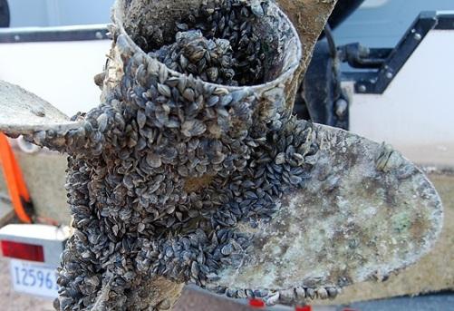 Zebra Mussels 2